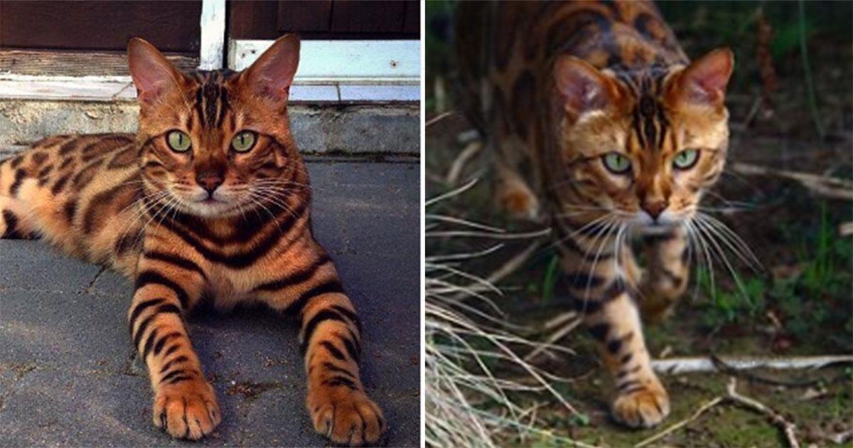 Temui Thor Kucing Bengal Yang Mencuri Hati Semua Orang Dengan Bulunya Yang Indah Etindonesia